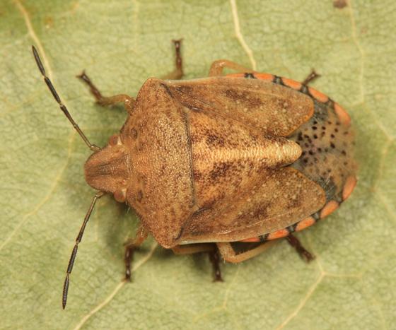 Stink Bug - Thyanta custator