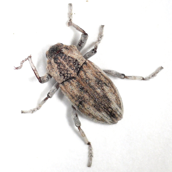 Weevil 10.07.03 - Apleurus angularis