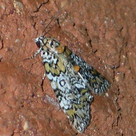 Bird Dropping Moth - Cerma cora