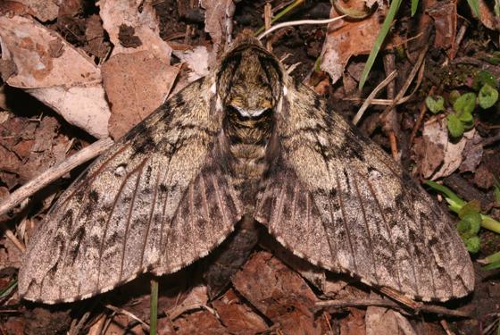 Sphingidae, dorsal - Ceratomia undulosa