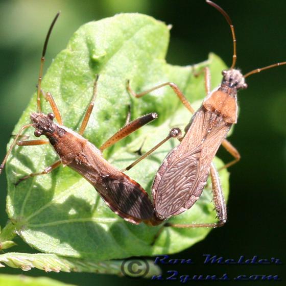 Broad-headed Bug - Alydus pilosulus - male - female