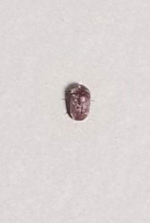 Anobiid eats the floor