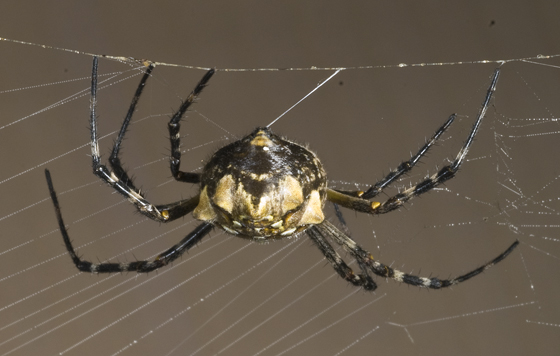 An Orb Weaver in the back yard  - Argiope argentata