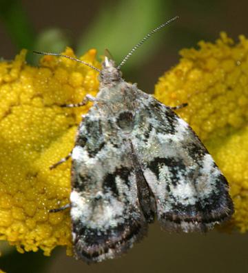 moth - Choreutis diana