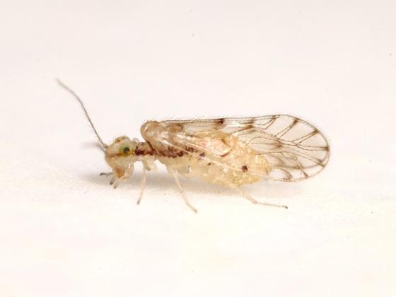 Trichopsocus dalii - female