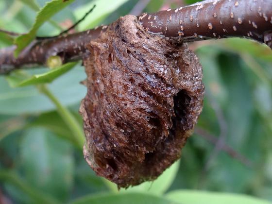 Chinese Mantid ootheca - Tenodera sinensis