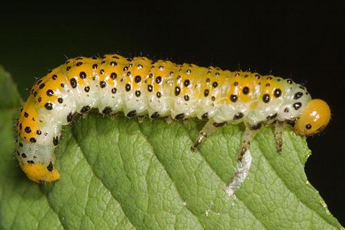 Larva on rose bush - Arge ochropus