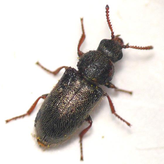 Dasytinae from California (2) 10.07.18 - Trichochrous brevicornis