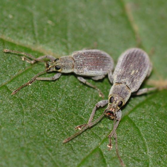 Hazelnut weevils - Cyrtepistomus castaneus