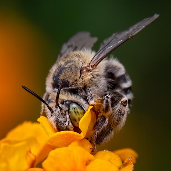 green-eyed bee - Anthophora californica