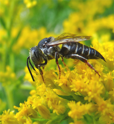 Small wasp-like harvester on goldenrod - Coelioxys octodentatus