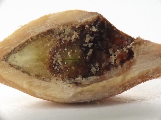 Wild plum weevil - Coccotorus scutellaris