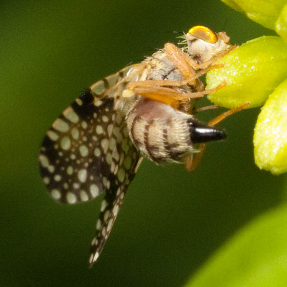 Fly With Spotted Wings - Campiglossa albiceps - female