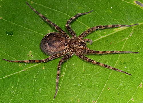 Very large spider - Dolomedes tenebrosus