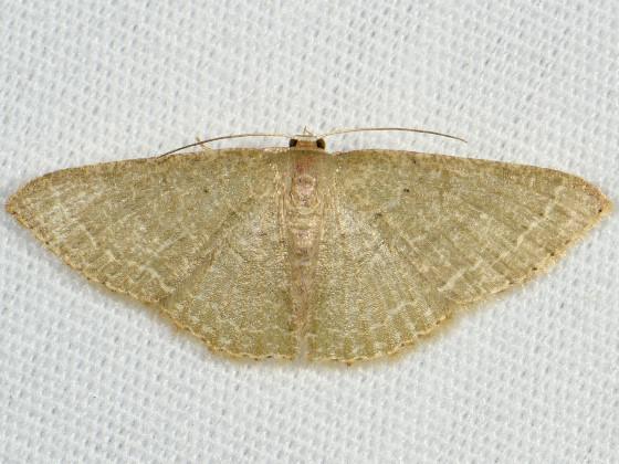 Asthene Wave Moth - Pleuroprucha asthenaria - female