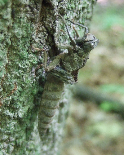 Arrowhead Spiketail exuvia - Cordulegaster obliqua - female