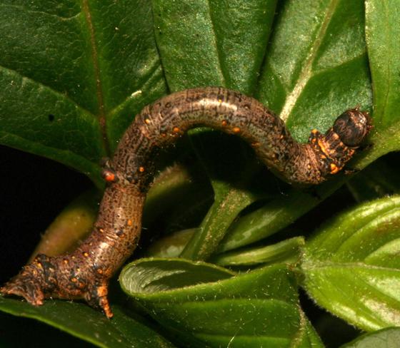 Geometridae, larva - Eutrapela clemataria