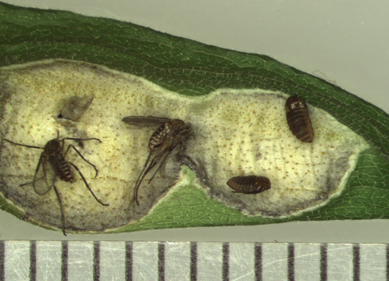 Asteromyia carbonifera, dead adults & live pupae - Asteromyia carbonifera