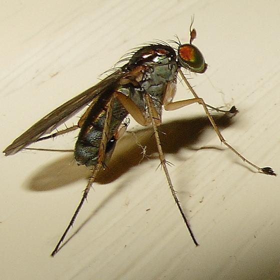 Fly - Dolichopus - male