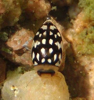 diving beetle - Laccophilus pictus