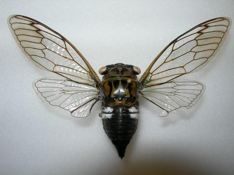 Tibicen latifasciatus - Neotibicen latifasciatus - female