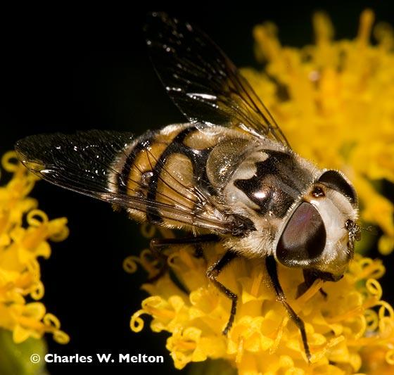 Copestylum sp. - Copestylum avidum - female