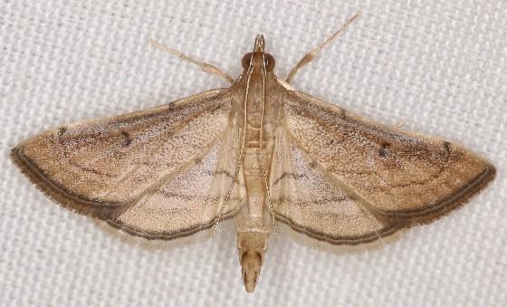 Cnaphalocrocis trapezalis  - Cnaphalocrocis trapezalis