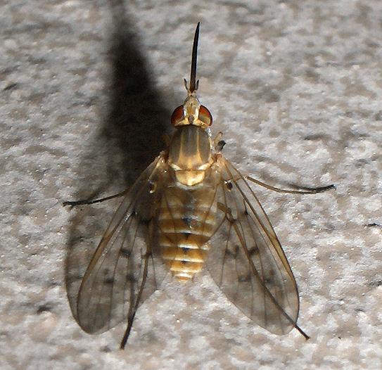Bee Fly - Poecilognathus? - Poecilognathus