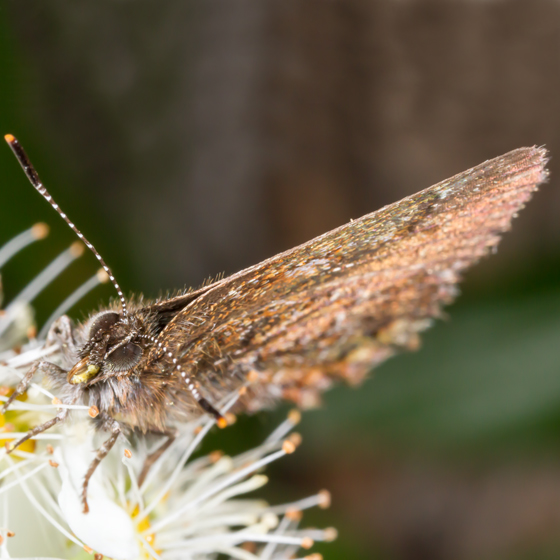 Unknown Butterfly - Callophrys niphon