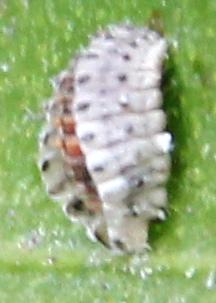 Rodolia cardinalis pupa? - Novius cardinalis