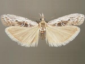 Patriciola semicana - Hodges #5932 - Patriciola semicana - male