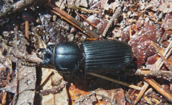 Black beetle - Odontotaenius disjunctus