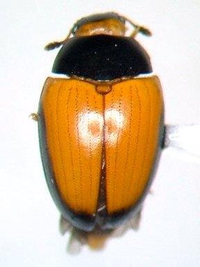Tritoma mimetica - female