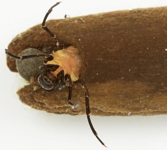 caddisfly larva - Heteroplectron californicum