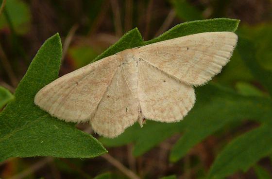 Geometridae - Scopula inductata