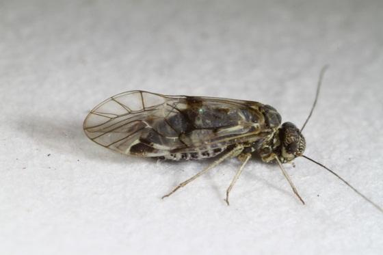 Amphigerontia montivaga (Chapman) - Amphigerontia montivaga - female