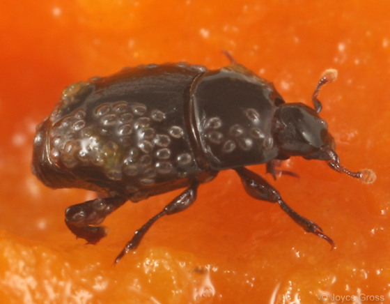 histerid - Carcinops pumilio