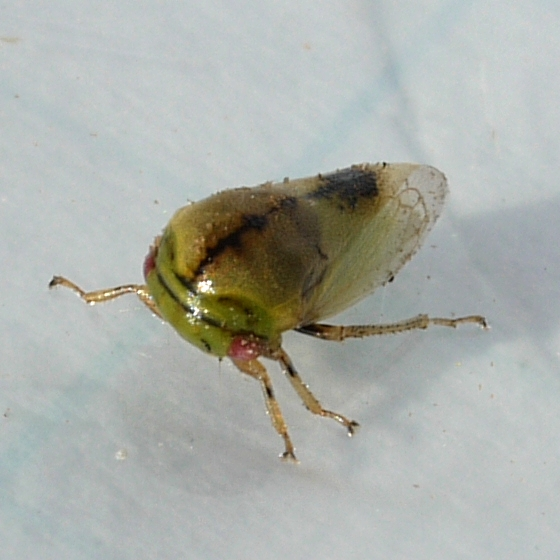 Treehopper - Micrutalis calva