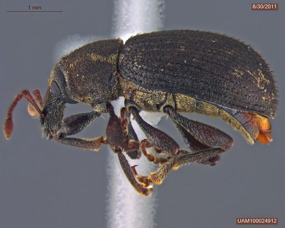 Lepidophorus lineaticollis