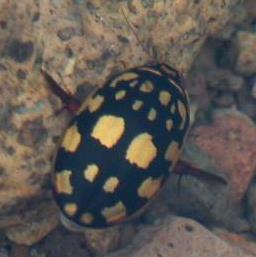 Thermonectus marmoratus
