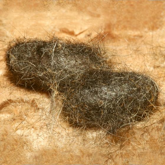 Pupae - Day 15 - Euchaetes elegans