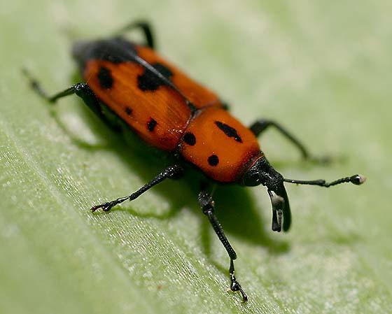 Billbug - Rhodobaenus quinquepunctatus