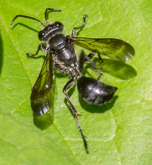 Wasp - a 'great black', oh wise ones?   - Isodontia mexicana