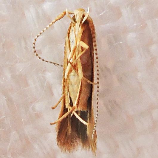 spatulate leaf casebearer - Coleophora
