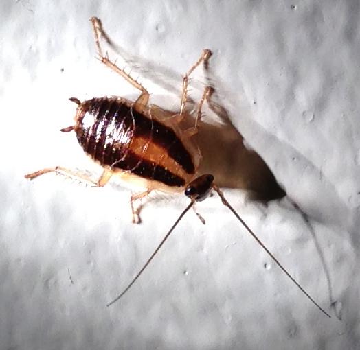 Bug?? Is it a cockroach? Beetle?  - Blattella germanica