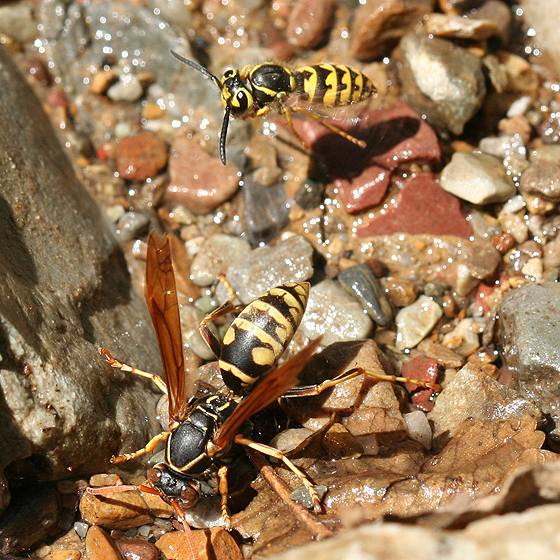 Western Yellowjacket With Paper Wasp