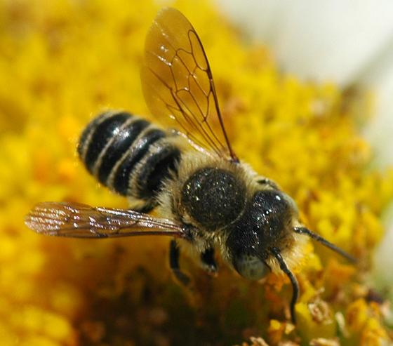 Megachilid - Megachile - male