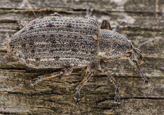 New York Weevil - Ithycerus noveboracensis