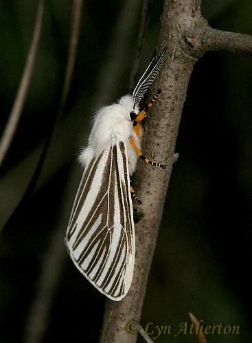 Echo Moth, Seirarctia echo #8130 - Seirarctia echo - male