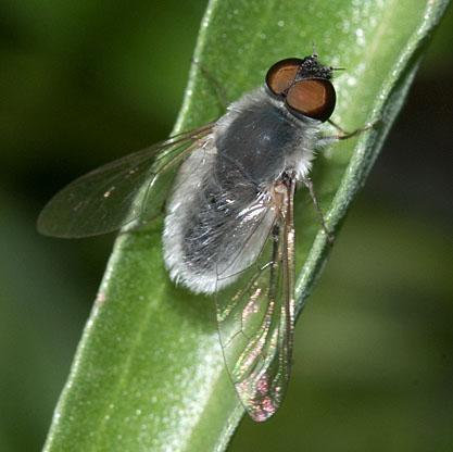 Aphoebantus mus - male